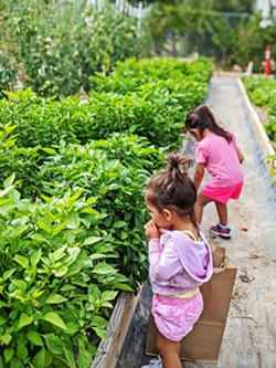 FIRST HARVEST Children pick peppers during a volunteer day at Templeton Hills Community Farm, which is open every Sunday to volunteers. - PHOTO COURTESY OF PASTOR ZAC PAGE