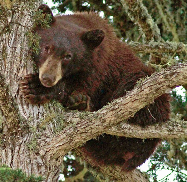 'THE BEARS' A black bear (pictured) is discovered hiding in a tree in residential Los Osos last October. Similar black bear encounters are increasingly common at Lopez Lake's campground, raising concerns. - PHOTO COURTESY OF MARIE-LUISE GOERITZ