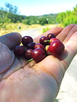 MORE CAFFIENE Unroasted coffee berries have more caffeine than the roasted product they eventually become. - COURTESY PHOTO BY SCOTT STEVENSON