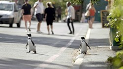 OUT FOR A STROLL In Penguin Town on Netflix, narrator Patton Oswald explains how endangered African penguins invade a South African beach town every year to find a mate. - PHOTO COURTESY OF NETFLIX
