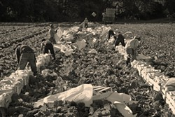 CUT AND PACK:  Napa cabbage is harvested at Talley Farms in Arroyo Grande. This crop is one of the most demanding on farmworkers to pick, according to Ryan Talley. - PHOTOS BY STEVE E. MILLER