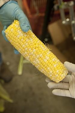 GMO FREE :  Seasonal produce for the summer CSA boxes includes fresh organic, non GMO corn. - PHOTO BY STEVE E. MILLER