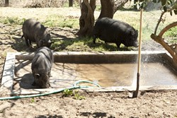 HOG HEAVEN :  Pot-bellied pigs have plenty of space to roam, splash, and nap at Lil' Orphan Hammies, a five-acre rescue facility near Solvang. Many were starving or abandoned before they were rescued.