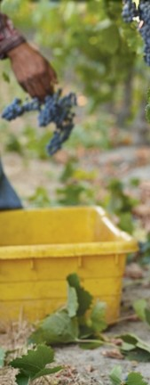 TAKE YOUR PICK: :  This detail from the Paso Robles Harvest Wine Weekend poster provides a misty glimpse of the raw ingredient that goes into making delicious bottles of wine—and the events celebrating the same. - IMAGE COURTESY OF PASO ROBLES WINE ALLIANCE