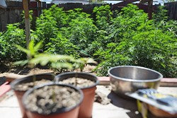 CHRONIC GREEN AND GRAY AREAS:  The San Luis Obispo County Board of Supervisors and the SLO City Council will both be discussing ordinances on the cultivation of medical marijuana at their respective Dec. 15 meetings. New state laws that regulate medical marijuana require localities to draft policies regulating the cultivation by March 1, or they'll lose local control. - FILE PHOTO BY KAORI FUNAHASHI