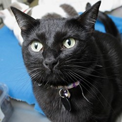 DON'T STEREOTYPE ME :  Black cats are among those who don't often find a home at Cambria's HART rescue shelter; the owner says they're hard to place. - PHOTO BY STEVE E. MILLER