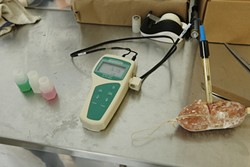 24: :  After two days of drying, the pH of the salamis is checked to make sure they're fermenting correctly.