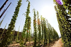 HOP TO IT:  Toro Creek Brewing Company grows 13 varieties of organic hops alongside barley on its hiddenaway farm, located midway between Morro Bay and Atascadero. - PHOTO BY DUMMIT PHOTOGRAPHY