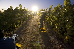 ARTIFICIAL SUN :  A Thursday night harvest begins on the far northern edge of Laetitia Vineyards near Arroyo Grande. - PHOTOS BY STEVE E. MILLER