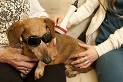DOGGLES!:  Fritz, an older dachshund, gets a spinal laser treatment from Kelley Treiber, the office manager of Mission Animal Hospital. - PHOTO BY STEVE E. MILLER