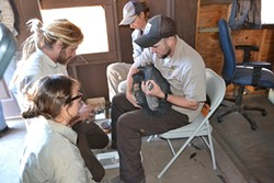 GET THE LEAD OUT:  Brandt and his fellow biologists perform chelation therapy—leaching lead and other metals out of the blood—on a sick condor. Approximately 30 percent of the refuges more than 100 birds require chelation at some point in their lives. - PHOTO COURTESY OF U.S. FISH AND WILDLIFE SERVICE