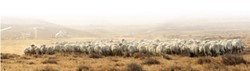 NO WOOL, NO HOOVES, NO PROBLEM:  The California Valley CSD has taken measures to keep the sheep from straying into private property at the owners' request, but many locals say that the signs don't do enough. - PHOTO BY STEVE E. MILLER