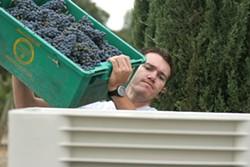 GOOD TO GO :  First Crush apprentice winemaker Chris Kuntz of Manteca empties fruit into a half-ton bin. - PHOTO COURTESY FIRST CRUSH
