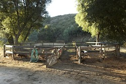 1::  Currently Antonio has over a dozen piglets and a full grown female named Victoria set up in an old horse training pen that's shaded throughout most of the day on his ranch in Creston. - PHOTOS BY STEVE E MILLER