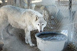 WHAT TO PACK? :  The 15 wolves and wolf-hybrids at the W.H.A.R. Wolf Rescue center in Paso Robles will have to move soon thanks to work on Highway 46 East. - PHOTO BY STEVE E. MILLER