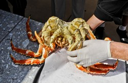 NIMBLE HANDS :  Chef Mike McGourty expertly cracks the huge red king crab like it's child's play. - PHOTOS BY DAN HARDESTY