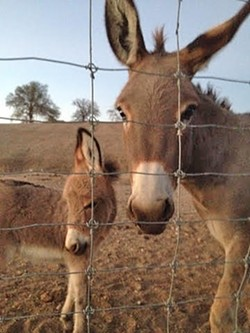 SHOW ME THE MINI:  A miniature donkey and her baby enjoy a warm summer sunset. - PHOTO BY HAYLEY THOMAS