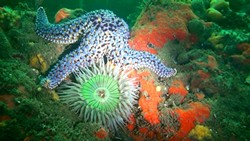 SEA STAR, SEA ANEMONE, SEA SPONGE: - PHOTO COURTESY OF TERRY LILLEY OF UNDERWATER2WEB.COM