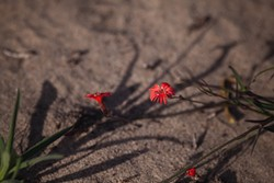 A COMPLEX ISSUE:  Fringed India pink (Silene laciniata) is one of many plants native to the Guadalupe-Nipomo Dunes National Wildlife Refuge and the surrounding dune complex that may be threatened by the continued spread of invasive veldt grass. - PHOTO BY KAORI FUNAHASHI