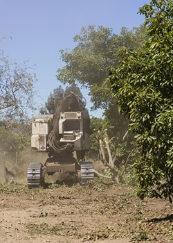 CUTTING BACK:  A timber harvester cuts through mature avocado tree branches with ease. - PHOTO BY HENRY BRUINGTON
