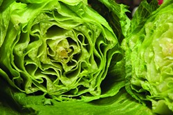 CRUNCH TIME :  A healthier type of iceberg lettuce developed in SLO County and field-tested in Santa Maria is now available to consumers and under the ownership of Monsanto. - PHOTO BY STEVE E. MILLER