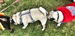 "SMELL TRAIN!:  ""So many butts, so little time,"" thinks Pugslie Starkey, pulling up the rear. - PHOTO BY GLEN STARKEY"