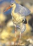 EGRET REGRET :  Wildlife get tangled in plastic bags