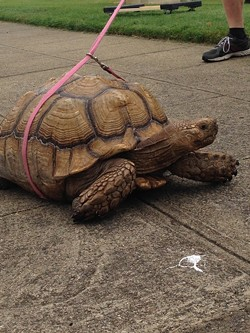 SLOW POKE:  A leashed turtle pacing outside of the SLO Vet's Hall was a surefire sign that we were in the right place. - PHOTO BY CHASE HALL