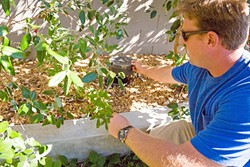 GREEN FROM GRAY:  Josh Carmichael kneels down to check the gray water irrigation system amid blooming feijoas. - PHOTO BY KAORI FUNAHASHI