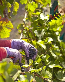 PICK OF THE YEAR:  This year brought a smooth growing season and brief harvest to vineyards. - PHOTO BY STEVE E. MILLER
