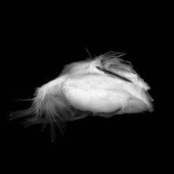 FALLEN BEAUTIES :  Artist Wendy Denton will exhibit her series of unexpectedly lovely scans of found dead birds during the Paso Robles Festival of the Arts. - ARTWORK BY WENDY DENTON