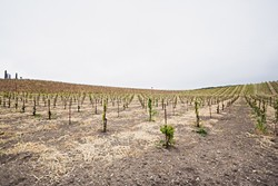 LITTLE VINES:  Tablas Creek Vineyards is moving toward establishing 50 percent of its acreage as dry-farmed grapes. The winery planted its first dry-farmed bloc in the late 2000s. - PHOTO BY KAORI FUNAHASHI