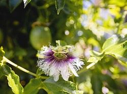 FROM SCARCITY TO BOUNTY:   Tropical fruit such as this passion fruit thrive on gray water at the home of Cal Poly professor Pete Schwartz. - PHOTO BY KAORI FUNAHASHI