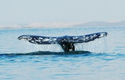 FACING THE HARPOON :  Proposed rules for international whaling could threaten the continued survival of gray whales along the SLO County coast. - PHOTO BY LARRY WAN