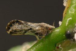 AN UNCIVIL PSYLLID:  The Asian citrus psyllid, a recent arrival to the Central Coast, can transmit Huanglongbing, or citrus greening disease, which damages citrus trees. - PHOTO COURTESY OF CALIFORNIA DEPARTMENT OF FOOD AND AGRICULTURE