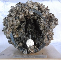 UNWANTED GUESTS :  There's no known way to get rid of quagga mussels, a subspecies of non-native zebra mussels, once they infest an ecosystem. SLO County supervisors really want to keep them out of local waters. - PHOTO COURTESY OF SLO COUNTY PUBLIC WORKS