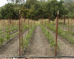 BEGINNINGS :  Rows of tomatoes begin growing for fantastic heirloom tomato salads and other delicious menu items. - PHOTOS BY STEVE E. MILLER
