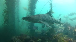 LEOPARD SHARK: - PHOTO BY ANDREW HARMER, TENERA ENVIRONMENTAL, COURTESY OF PACIFC GAS & ELECTRIC