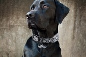 POOCHIE:  You don't have to pay designer prices for a designer collar. - PHOTO COURTESY MUTT COUTURE