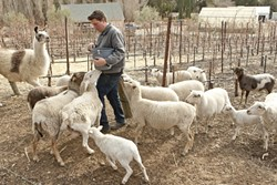 ALPACAS, DONKEYS, AND SHEEP—OH MY!:  Tablas Creek winery has a very active biodynamic program for keeping their vineyard free of pesticides, which uses a variety of animals to clear the rows of weeds and fertilize naturally. Levi Glenn, the viticulturist, feeds some of the animals in the dry season when not a lot of groundcover is available for the animals. - PHOTO BY STEVE E. MILLER