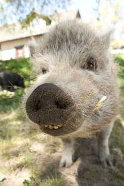 TeaCupPigs-sem-pigface.jpg