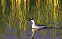 PHALAROPE & REFLECTIONS:  First Place - MARLIN HARMS