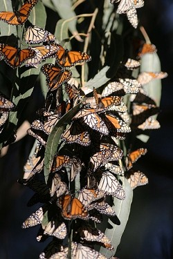 TIGHT-KNIT COLONY:  The dense clusters of butterflies, each insect hanging its wing over the one below in a shingle effect, provides shelter and warmth for the group. - CHRISTOPHER GARDNER