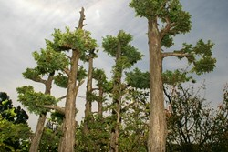 SIZE MATTERS:  Bonsais are typically kept very small, but with careful training they can have all the same proportions of a full-grown tree - as shown in this close up of a miniature juniper grove. - CHRISTOPHER GARDNER