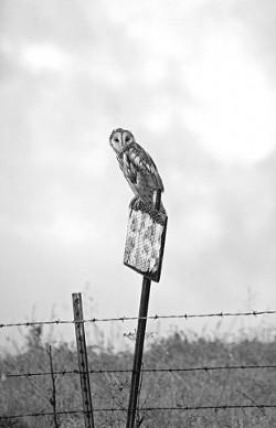 BARN OWL ON DUTY:  Honorable Mention - MICHAEL UTIN