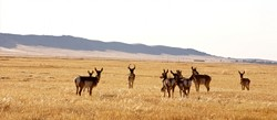 """BORN FREE :  Referring to Clintons 2001 proclamation as the """"Land Grab,"""" ranchers point to their tradition of keeping non-domesticated antelope herds as evidence of their dedication to preserving wild Carrizo. Before the proclamation, poachers literally had to risk their lives trespassing to kill these animals. - PHOTO BY JESSE ACOSTA"""