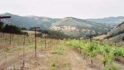 GRAFTED! :  When this photo of Minetti Vineyard was taken last year, the vines on the left had just been grafted to Syrah and the vines on the right had yet to be grafted. James Ontiveros expects his first harvest there for fall 2008. - PHOTO COURTESY OF PAUL WILKENS