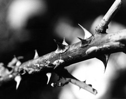 """THORN TORN� THIRD PLACE FLORA - BW: - PREM ANANDA"