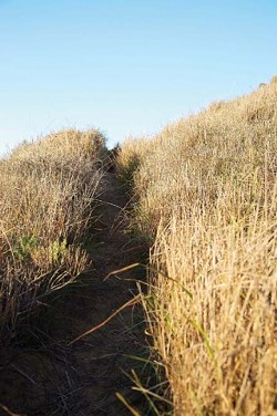 """INFIDELS! :  """"It is a very serious problem actually that is an understatement,"""" a local ecologist said of widespread African veldt grass infestation in the coastal dunes habitat. This aggressive and invasive clump weed will try to choke out freshly planted native scrub once the eucalyptus is removed in a restoration effort. - PHOTO BY JESSE ACOSTA"""