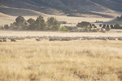 """RUNNING WILD :  Some locals claim that a monstrous herd of sheep sometimes obstructs the road and invades the monument. They say so-called """"sheep money,"""" paid to the CSD, keeps the woolen critters off the regulatory radar. - PHOTO BY JESSE ACOSTA"""